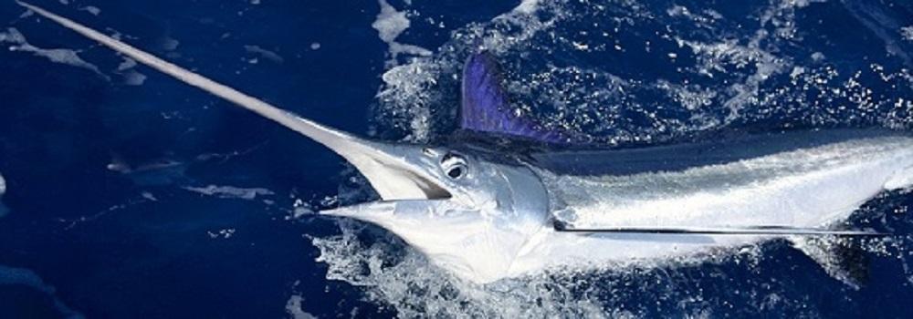 Beautiful stripe marlin reel billfish sport fishing
